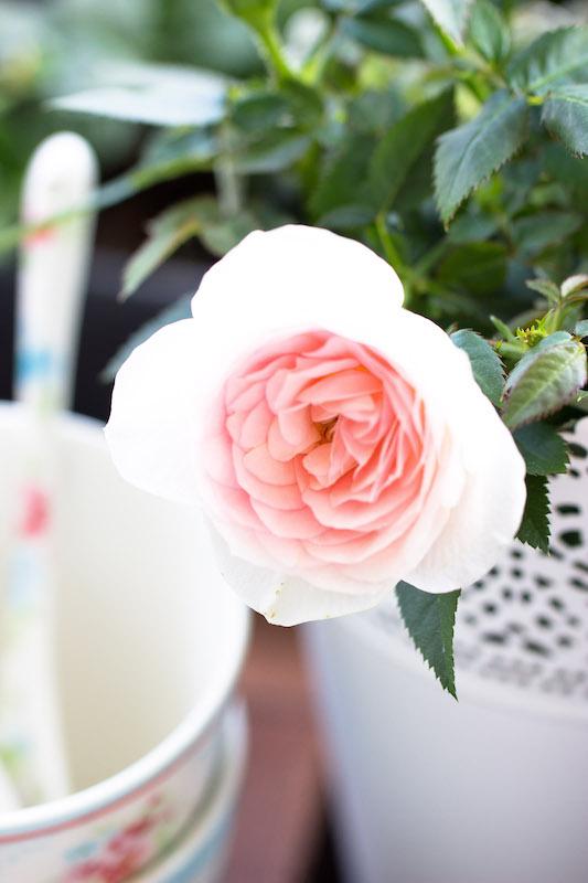 Blüte einer Duftrose